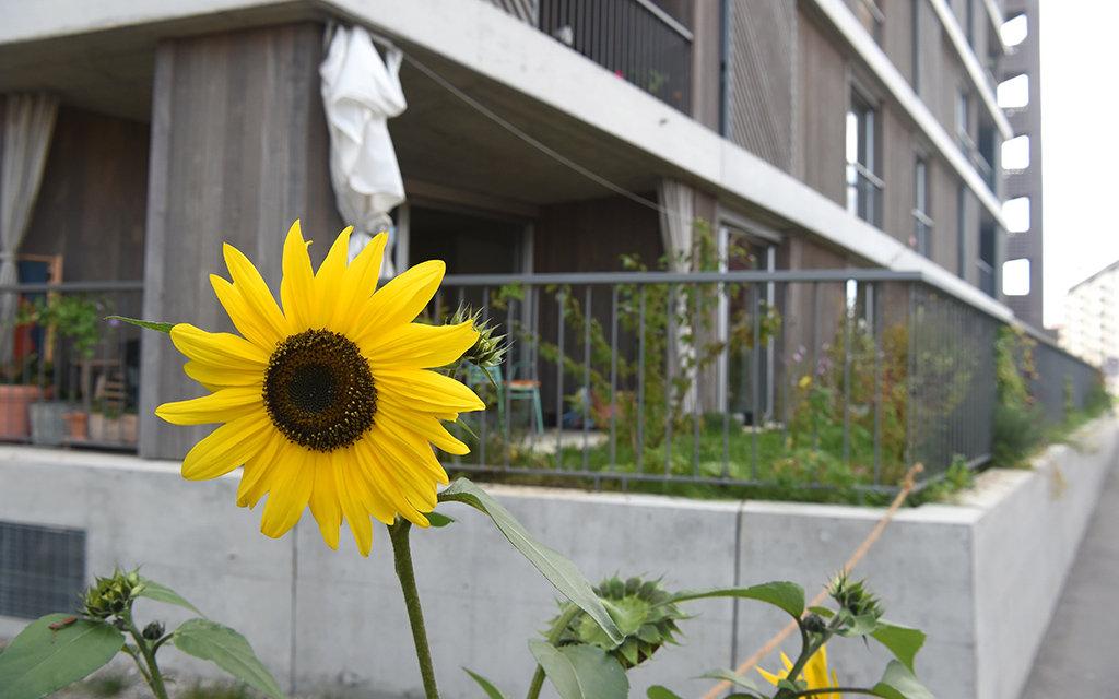 Girasole davanti ad un edificio