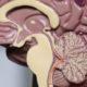 Modello del cervello umano - particolare